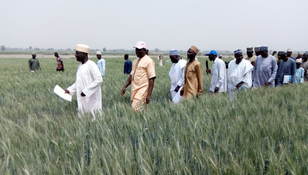 Prof Igbadun taking the team round the wheat farm during the field day